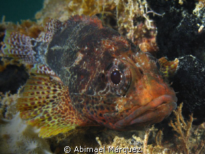 Reef Scorpionfish, a close encounter. by Abimael M&#225;rquez 